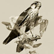 Lanner Falcon Collage Poster