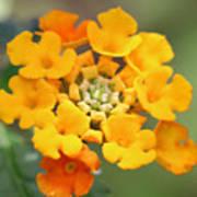 Lantana Flower Poster