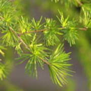 Larch Branch And Foliage Poster