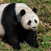 Large Black And White Giant Panda Bear Sitting Poster