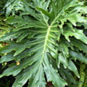 Large Fern Poster