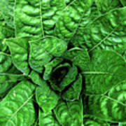 Large Green Display Of Concentric Leaves Poster