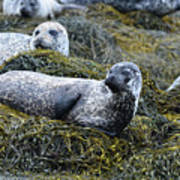 Large Harbor Seal Colony In Scotland Poster
