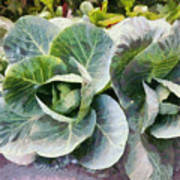 Large Leaves Of A Cabbage Plant Poster