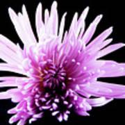 Large Purple Chrysanthemum-1 Poster