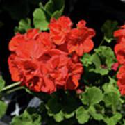 Large Red Begonia Bloom Poster
