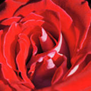 Large Red Rose Center - 003 Poster