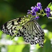Large Tree Nymph Polinating Dainty Purple Flowers Poster