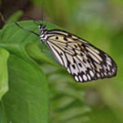 Large White Tree Nymph Butterfly On Green Foliage Poster