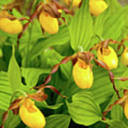 Large Yellow Lady's Slipper  Poster