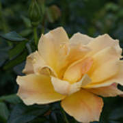 Large Yellow Rose II Poster