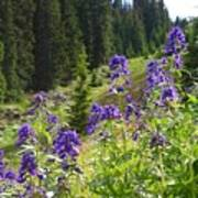Larkspur Along Trail Ridge Road Poster