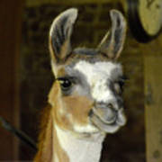 Larry The Lama Poster