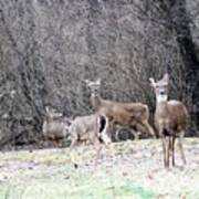 Late Winter Whitetails Poster