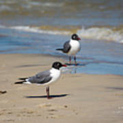 Laughing Gulls On The Beach Poster