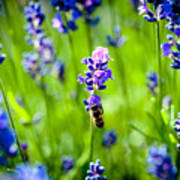 Lavander Flowers With Bee In Lavender Field Macro Artmif Poster
