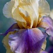 Lavender And Gold Iris Poster