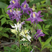 Lavender And White Columbine Poster