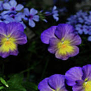 Lavender And Yellow Pansies Poster