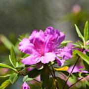 Lavender Rhododendrun Poster