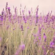Lavender Blossom Poster