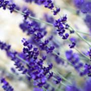 Lavender Blue Poster