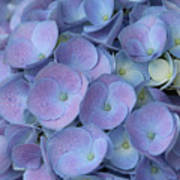 Lavender Blue Hydrangea Poster