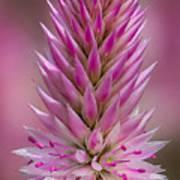 Lavender Closeup Poster
