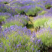 Lavender Field, Tihany, Hungary Poster