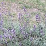Lavender Fields Forever Poster