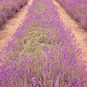 Lavender Fields Poster