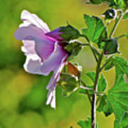 Lavender Flower In The Sun Poster
