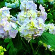 Lavender Hydrangea In Garden Poster