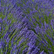 Lavender In Sequim Poster