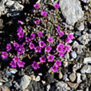 Lavender In The Rocks Poster