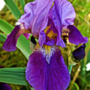 Lavender Iris At Pilgrim Place In Claremont-california  Poster