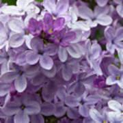 Lavender Lilacs Poster