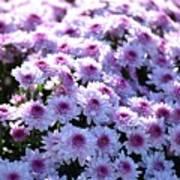 Lavender Mums Poster