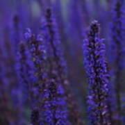 Lavender Night Poster