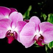 Lavender Orchids  Poster