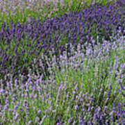 Lavender Sea Poster