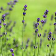 Lavender Spikes  Poster