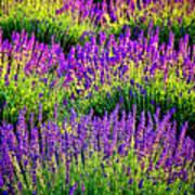 Lavenderous Harmony Poster