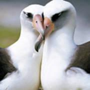 Laysan Albatross Phoebastria Poster