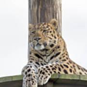 Lazy Leopard Poster