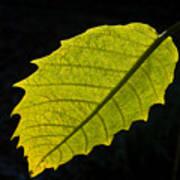 Leaf Aglow Poster