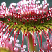 Leaf Of Sundew Poster by Nuridsany et Perennou and Photo Researchers