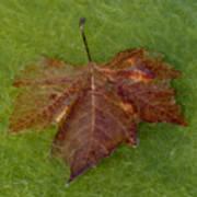 Leaf On Algae Poster