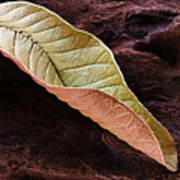 Leaf On Log- St Lucia Poster