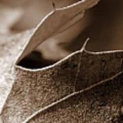 Leaf Study In Sepia II Poster